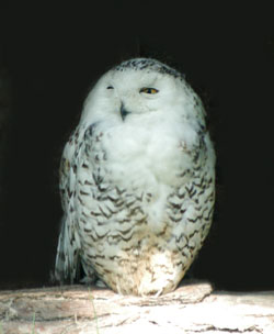 free snowy owl picture