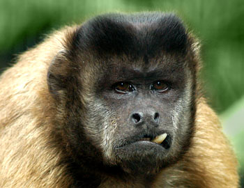 Free Picture of Brown Capuchin Monkey
