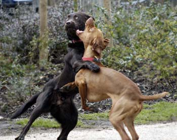 free dogs fighting dog picture free dogs 350x277