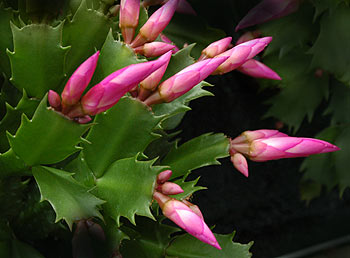 Free picture of pink christmas cactus flower flower picture showing pink christmas cactus mightylinksfo
