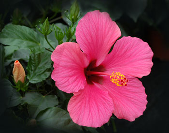 Free Picture Of Pink Hibiscus Flower