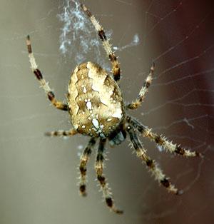common-garden-spider.jpg