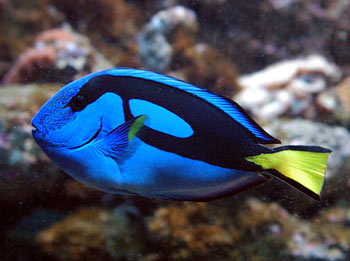 Tropical Marine Fish Picture - Regal TangWhat Type Of Fish Is Dory