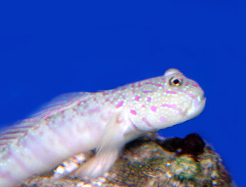 Free Spotted Shrimp Goby Tropical Marine Fish Picture