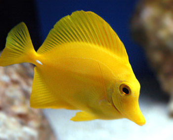Free yellow tang tropical marine fish picture for Yellow saltwater fish
